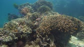 šnorchl : Tropical coral reef. Underwater fishes and corals. Camiguin, Philippines.
