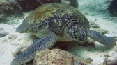 sealife : Green sea turtle underwater in the natural environment. Wonderful and beautiful underwater world.