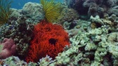 sasanka : Clown fish and sea anemone, natural symbiosis. Coral reef with fishes. Hard and soft corals underwater landscape