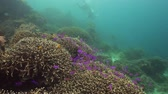 cay : Tropical coral reef. Underwater fishes and corals. Camiguin, Philippines.
