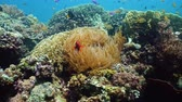 cay : Clown fish and sea anemone, natural symbiosis. Coral reef with fishes. Hard and soft corals underwater landscape