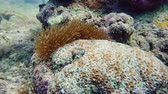 sasanka : Sea anemone and clown fish on coral reef, tropical fishes. Underwater world diving and snorkeling on coral reef. Hard and soft corals underwater landscape Dostupné videozáznamy