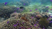 cay : Tropical fishes and coral reef, underwater footage. Seascape under water. Camiguin, Philippines.