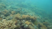 objevit : Tropical fishes and coral reef, underwater footage. Seascape under water. Camiguin, Philippines.