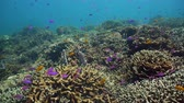 soft coral : The underwater world of coral reef with fishes at diving. Coral garden under water, Philippines, Camiguin. Stock Footage