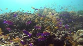 objevit : Tropical coral reef and fishes underwater. Hard and soft corals. Underwater video. Camiguin, Philippines.