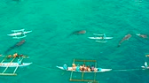 whale : Aerial view of tourists snorkeling and watch whale sharks in turquoise water. Summer and travel vacation concept. Oslob, Philippines, Cebu Island. Stock Footage