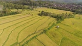 kırsal bölge : agricultural land and rice fields in Asia. aerial view farmland with rice terrace agricultural crops in countryside Indonesia, Bali. Stok Video