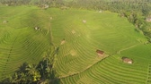 pirinç : aerial view green rice terrace and agricultural land with crops. farmland with rice fields agricultural crops in countryside Indonesia,Bali Stok Video
