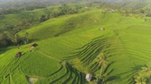 reis : aerial view green rice terrace and agricultural land with crops. farmland with rice fields agricultural crops in countryside Indonesia,Bali Stock Footage