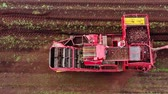 maquinaria : Aerial view of sugar beets harvest. Red combine harvesters harvest of sugar beet. Stock Footage