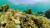 魚類 : Tropical fishes and coral reef at diving, 360 panorama. Underwater world with corals and tropical fishes. Camiguin, Philippines.