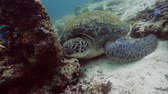 fins : Green sea turtles underwater among corals. Wonderful and beautiful underwater world.