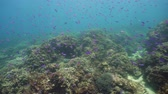 魚類 : Beautiful underwater world with coral reef and tropical fishes. Camiguin, Philippines. Travel vacation concept 動画素材