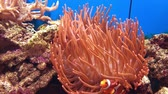 clownfish : Clown fish and sea anemone Stock Footage