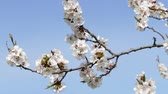 apricot : Tree apricots blossoms against the blue sky, spring day. Fresh spring background