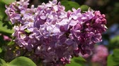 leylak : branch of a blooming purple lilac on a bush with green leaves Stok Video