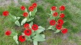 kwiaciarnia : red tulips bloom in the garden. fresh spring background