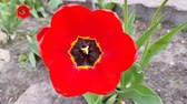 sun ray : red tulips bloom in the garden. fresh spring background