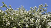 группа объектов : lots of white flowers on a bush on a blue sky background