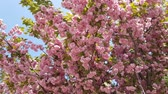 cherry blossom branch : sakura blooming pink flowers against the blue sky. romantic spring background