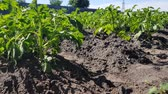 canteiro de flores : young bushes of potatoes in the garden grow in black soil even the beds
