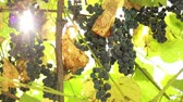 vinařství : blue grapes grow on a branch in the garden. home winemaking