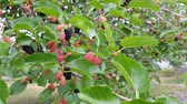 dut : berries of mulberry on a branch. red and black mulberry ripens on a branch