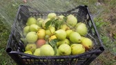 sack : The harvest of pears in a plastic container is washed from the hose. Fruit growing on the farm Stock Footage