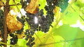 blue grapes on a branch. Through the leaves the suns rays break through. wine business