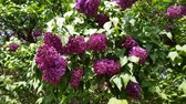 Purple lilac blooms on a lush bush with green foliage. season flowering lilac