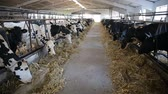 terneros : cows eating hay in cowshed on dairy farm. modern cowshed Archivo de Video