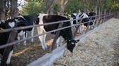 terneros : Cows feeding process on modern farm. Close up cow feeding on milk farm. Cow on dairy farm eating hay. Cowshed