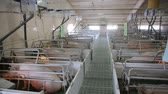 kismalac : Piglets on an industrial pig farm