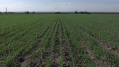 zima : New shoots of a winter wheat on a spring field.