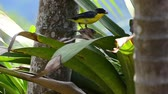 banány : Orange-bellied Euphonia on a palm leaf - birds of Colombia