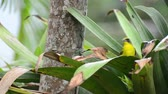 kolombiya : Lemon-rumped tanager eating banana Stok Video