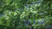 weather : Green leaves in the wind Stock Footage