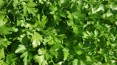 windy : Parsley plant