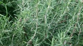herb : Rosemary plant