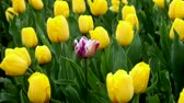 agriculture : One purple tulip among all yellow tulips field
