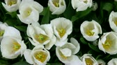 windy : Beautiful white tulips closeup view from above Stock Footage