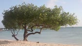 weather : Divi-divi tree on a beach, zoom out, Aruba, the Caribbean. Stock Footage