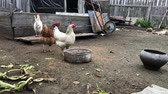 ali di pollo : Rooster and chickens feeding in farmyard and walk free in meadow. Chicken Farm.
