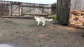 luz frontal : white cat with gray spots walking in the yard