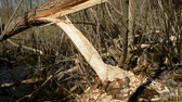 bóbr : European beaver demolished willow for nutrition