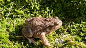 wart : big common toad (Bufo bufo)  and water splash