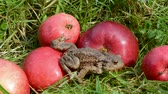 wart : red apples in garden and amphibian big common toad (Bufo bufo) Stock Footage