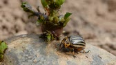 colorado potato beetle : colorado beetle (Leptinotarsa decemlineata ) on spring potato with green sprout