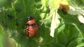 colorado potato beetle : colorado potato beetle larva on  leaf  in farm garden